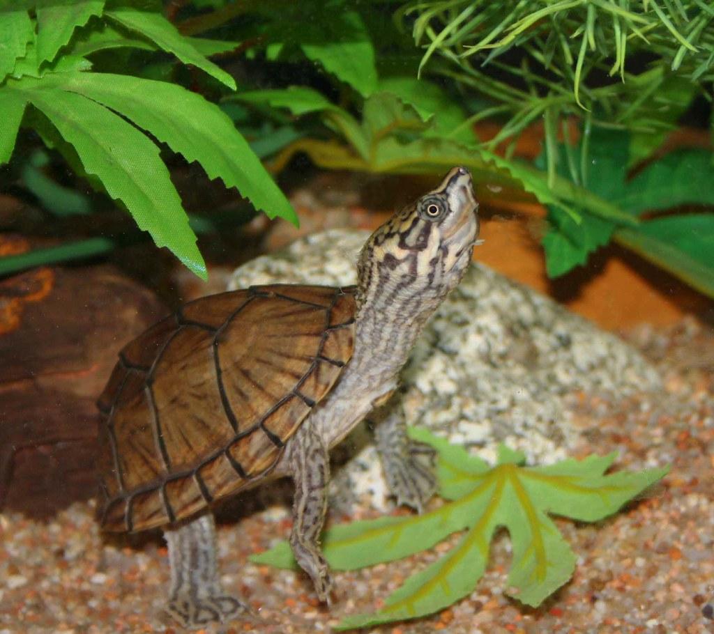 Tortugas-de-bulbo-Sternotherus-carinatus