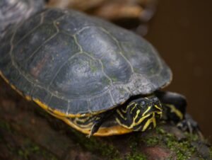 ¿Qué comen las tortugas de río?
