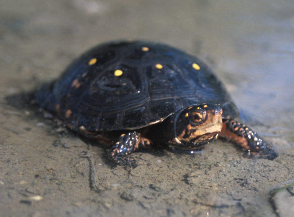 tortuga-moteada-Clemmys-guttata