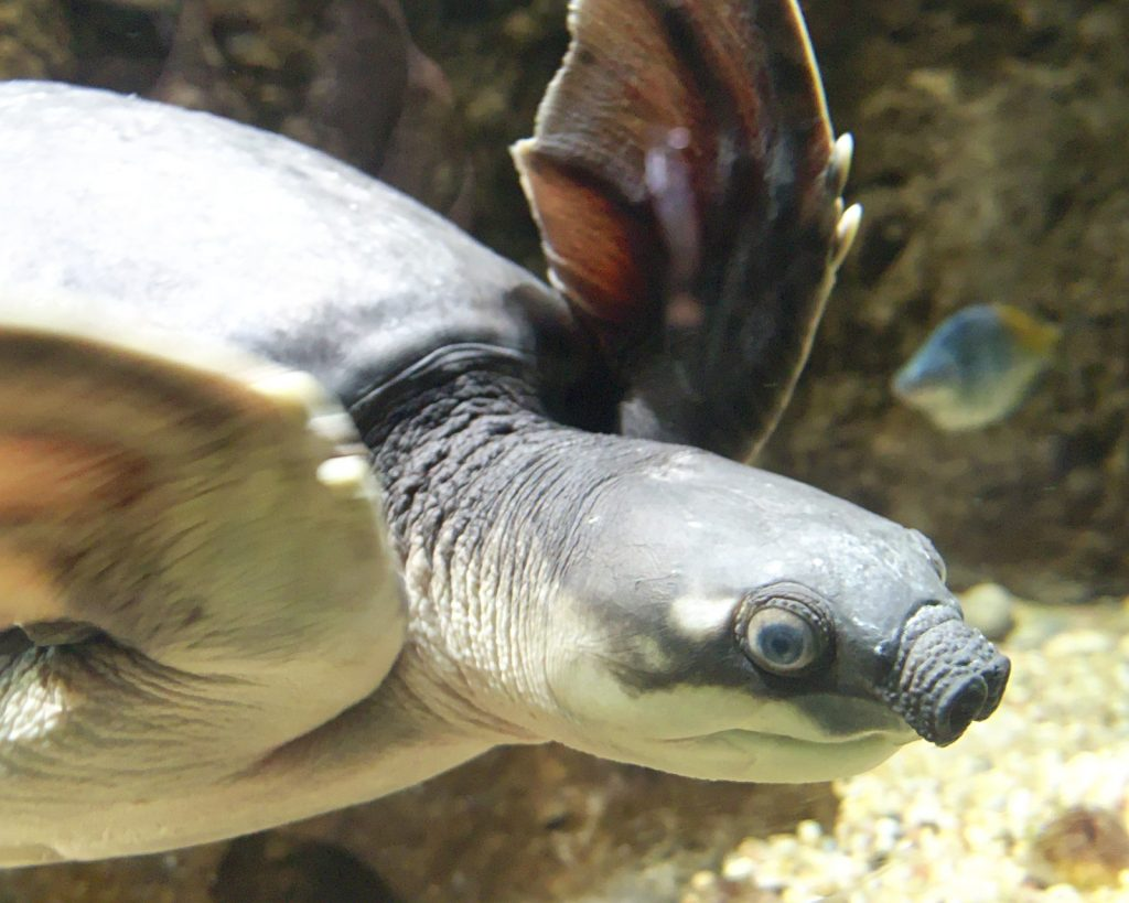 tortuga-nariz-de-cerdo-Carettochelys-insculpta